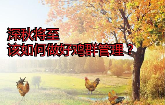 深秋将至,该如何做好鸡群管理?